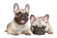 Two French bulldog puppy Stock Photography