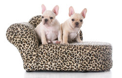two french bulldog pups Royalty Free Stock Images