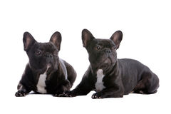 Two French Bulldogs Stock Image