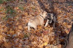 Two french bulldogs are frolicking on the autumn foliage. Pet animals Stock Image