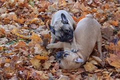 Two french bulldogs are frolicking in the autumn park. Pet animals Royalty Free Stock Image