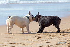 Two french bulldogs playing with a ball. On the beach stock photo