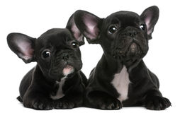 Two French Bulldogs puppies, 8 weeks old Royalty Free Stock Photos