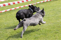 Two french bulldogs running on a lawn Stock Image