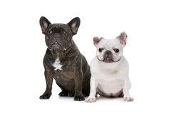 Two French bulldogs Stock Photos