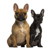 Two French Bulldogs sitting and looking at the camera Stock Photo