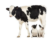 Two French bulldogs sitting under a Calf, 8 months Royalty Free Stock Images