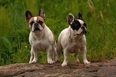 Two French Bulldogs. Standing on a mountain Royalty Free Stock Images