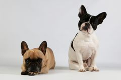 Two french bulldogs are together in the studio. Portrait of two beautiful french bulldogs in the studio one bulldog is sitting and one bulldog is lying down royalty free stock photo