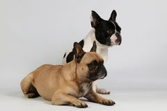 Two french bulldogs in the studio. Two french bulldogs in the white studio one french bulldog is sitting behind a lying bulldog and they are lookiing to the side stock photos