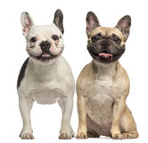 Two French Bulldogs, 3 years old, sitting and panting Royalty Free Stock Photography