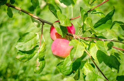 Two fresh apples on a green branch Stock Photos