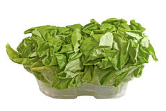 Two fresh Boston lettuce from the greenhouse Royalty Free Stock Photos
