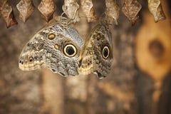 Two fresh Caligo eurilochus side by side_Bananenfalter royalty free stock image