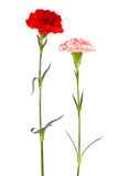Two fresh carnation Stock Photography