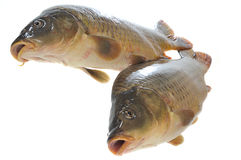 Two fresh carp Stock Photos