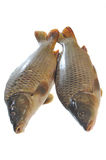 Two fresh carp Stock Image