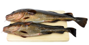 Two fresh catched cods Stock Photos