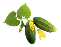 Two fresh cucumbers with leaf and yellow flowers. Stock Image