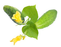 Two fresh cucumbers with leaf and yellow flowers Royalty Free Stock Photos