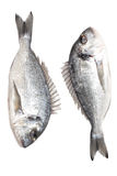Two fresh dorados. Dorado fish back to back another dorado Stock Photo