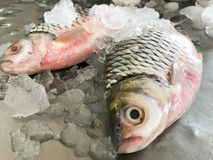 Two fresh fish on ice in market morning. Two fresh fish on ice in market morning, food for dinner royalty free stock photos