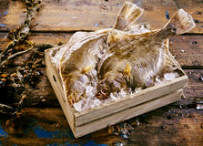 Two fresh flatfish displayed in a crate of ice. Two freshly caught flatfish, either halibut, flounder or sole, displayed in a small wooden crate of ice with Stock Photos