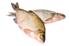 Two fresh freshwater fish Royalty Free Stock Image