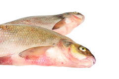 Two fresh freshwater fish Royalty Free Stock Images