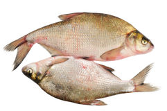 Two fresh freshwater fish Stock Photos