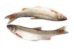 Two fresh freshwater fish Royalty Free Stock Photos