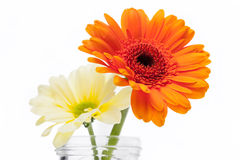 Two fresh Gerbera daisies in a jar Royalty Free Stock Photos