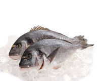 Two fresh gilt-head isolated on ice. Couple of fresh gilt-head on ice, top isolated stock photos