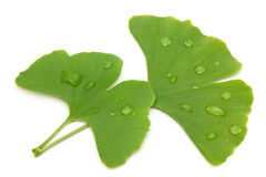 Two fresh ginkgo leaves Royalty Free Stock Photos