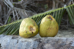 Two fresh green coconuts Royalty Free Stock Photography