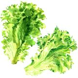 Two fresh green lettuce salad leaves isolated, watercolor illustration on white. Background vector illustration