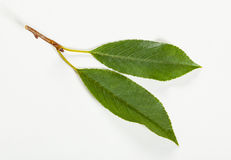 Two fresh leaves of cherry Royalty Free Stock Photography