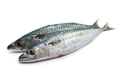 Two fresh mackerel Stock Image