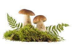 Two fresh mushrooms Royalty Free Stock Photo