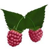 Two fresh raspberry. Stock Photos