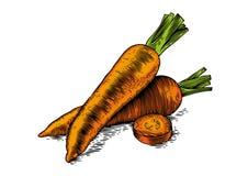 Two fresh raw carrots Royalty Free Stock Photos