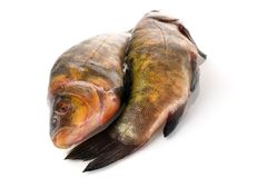 Two fresh raw fishes on a white background. Two fresh fishes on a white background. Two carcasses of a tench with golden-green scales, the heads in opposite the Stock Images
