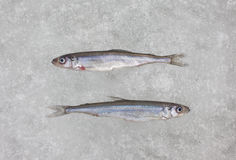 Two fresh raw smelt fish on white ice top view. Smelt fish on white ice close up Stock Photography