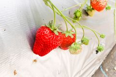 Two Fresh of red strawberry in Strawberry Farm stock photography
