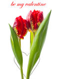 Two fresh red tulip flowers on white Royalty Free Stock Photo