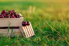 Two fresh ripe chrries on small wooden pallet on foreground and wooden box with a lot of cherries on green grass at royalty free stock images