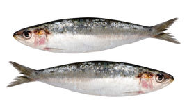 Two fresh sardines isolated royalty free stock photos
