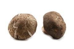 Two fresh shiitake mushroom Royalty Free Stock Photos