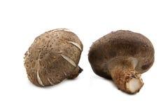Two fresh shiitake mushroom Stock Image