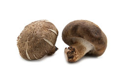 Two fresh shiitake mushroom Stock Images